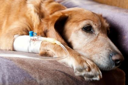 Leptospiróza u psů - prevence, příznaky a léčba