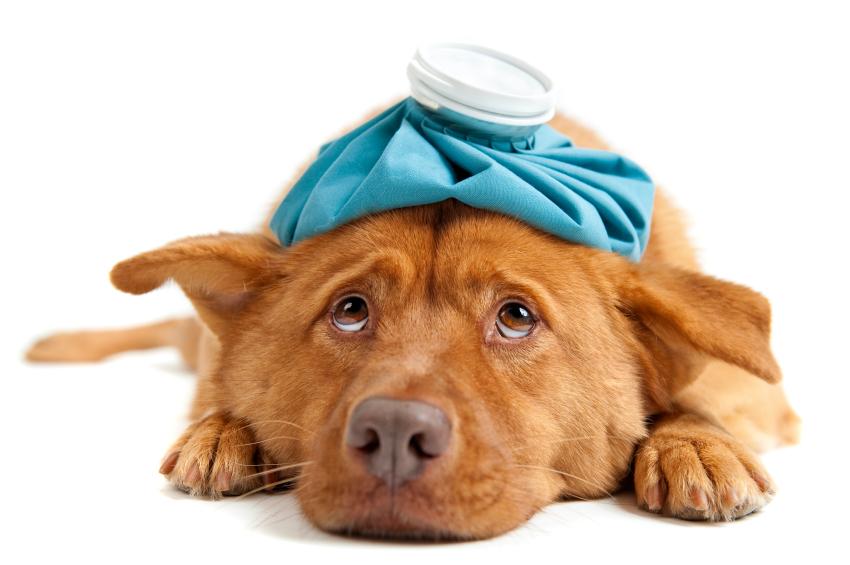 parvoviróza u psu